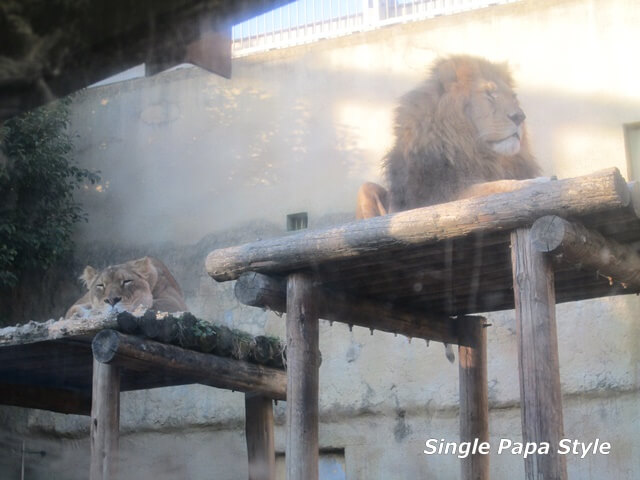 まったりライオン